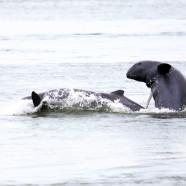 Laos, la diga minaccia il delfino del Mekong