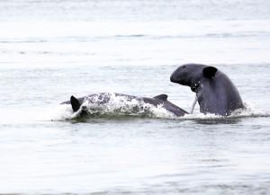 mekong_irrawaddy_dolphin_captured_at_tbong_kla_pool__c__wwf_cambodia__gerard_ryan